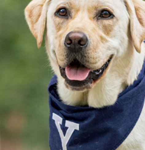 Event image for YPD Meet & Greet with Heidi, Yale Public Safety's Service Dog!